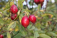 Apfel-Rose, Apfelrose, Früchte, Hagebutten, Hagebutte, Rosa villosa, Apple Rose, rose hip, rose hips, hip, Soft Leaved Rose, Le rosier velu