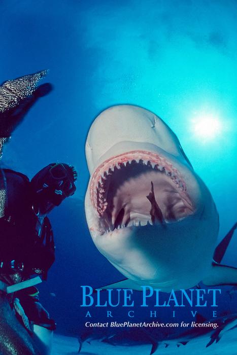 Caribbean reef shark, Carcharhinus perezii, being fed by diver, Kieron Baudains, wearing chainmail suit, New Providence, Bahamas, Caribbean Sea, Atlantic Ocean