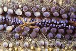 Tiny brittlestar on the underside of a pin cushion sea star