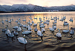 Whooper swans, Japan