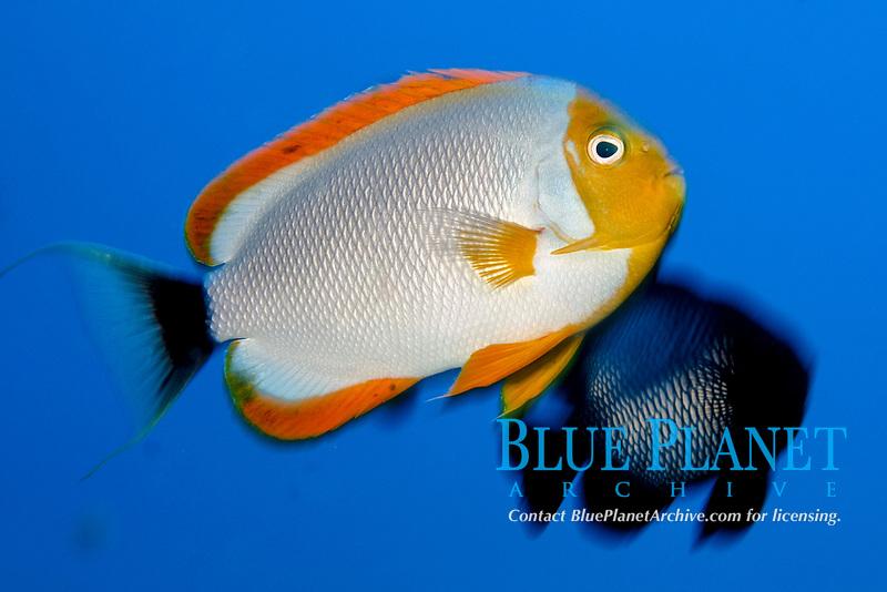 male masked angelfish, Male, Genicanthus personatus, endemic to Hawaii, Pearl and hermes reef, Papahanaumokuakea Marine National Monument, Northwestern Hawaiian Islands, Hawaii, USA, Pacific Ocean