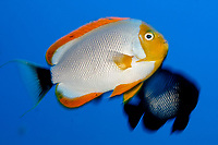 male masked angelfish, Male, Genicanthus personatus, endemic to Hawaii, Pearl and hermes reef, Papahanaumokuakea Marine National Monument, Northwestern Hawaiian Islands, Hawaii, USA, Pacific Ocean