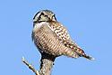 00831-007.20 Hawk Owl Surnia ulula is perched on top of dead tree typical of species.  Bird of prey, raptor, predator. H5L1
