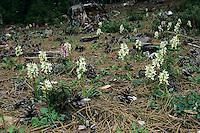 Roman Orchid, Dactylorhiza romana, blossom, Samos, Greek Island, Greece, April 1994