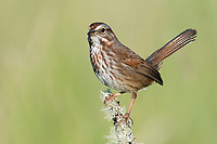 Song Sparrow (Melospiza melodia). Oregon. May.