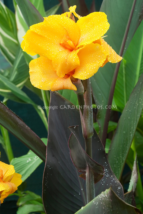 Canna 'Golden Orb' yellow flowers