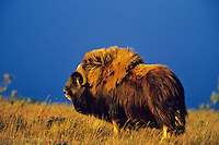 Muskox bull in evening light, Arctic NWR, Alaska,  Summer.