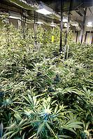 Al CRA, Centro Ricerca Agricoltura, di Rovigo viene prodotta e studiata la canapa, cannabis, per uso medico.