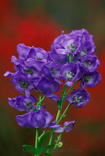 Purple monkshood in bloom