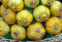Yellow round cucumber vegetables Crystal Lemon variety harvested and arranged