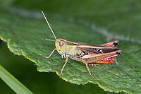Heide-Grashüpfer, Heidegrashüpfer, Liniierter Grashüpfer, Panzers Grashüpfer, Männchen, Stenobothrus lineatus, stripe winged grasshopper, stripe-winged grasshopper, lined grasshopper, male, le sténobothre ligné, le criquet du brachypode