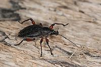 Dickmaulrüssler, Dickmaulrüßler, Dickmaul-Rüssler, Dickmaul-Rüßler, Lappenrüssler, Otiorhynchus sensitivus, snout beetles, snout weevils, snout beetle, snout weevil