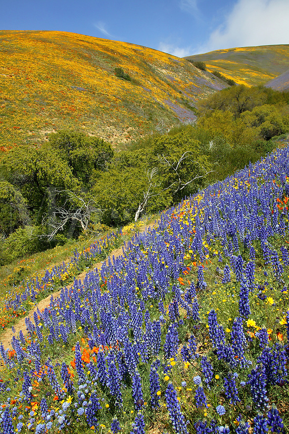 Wildflowers near Gorman, California