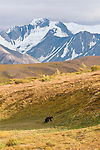 Grizzly Bear walking up the tundra in Denali National Park, Alaska.