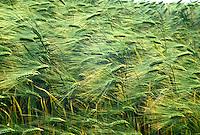 barley field blowing in the wind