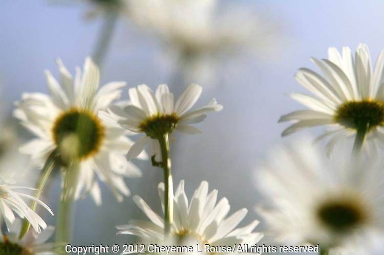 Summer Daisies - Utah - Park City