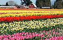 Rows and rows of brightly colored Tulips at Tulip Town during the Skagit county annual Tulip festival in Mount Vernon, WA.