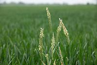 Black grass seeding in wheat - Lincolnshire, June