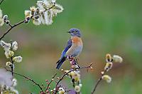 Female Western Bluebird (Sialia mexicana).   Columbia River Gorge National Scenic Area, Washington-Oregon..Early Spring.