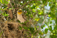 Verdin, Auriparus flaviceps, perches at its nest in the Riparian Preserve at Water Ranch, Gilbert, Arizona