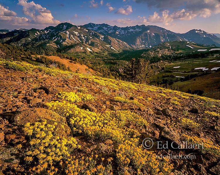 Sulphur Flowers, Carson-Iceberg Wilderness, Stanislaus National Forest, Sierra Nevada, California