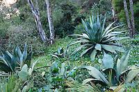 Le Domaine du Rayol:<br /> agaves sous eucalyptus et tapis de pervenche difforme, acanthe.