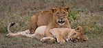 Lion cubs look up from a playful wrestle at Lake Ndutu in the Ngorongoro Conservation Area, Tanzania.