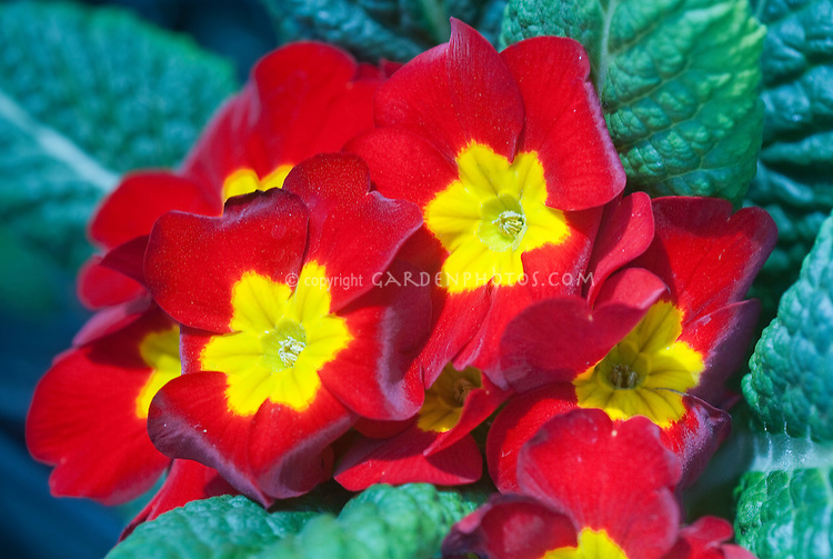 Primula elatior Piano Red primroses in spring bloom, red with yellow center