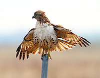 Immature red-tailed hawk drying out after rain