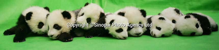 Babies born at Chengdu Giant Panda Breeding and Research Base, China...