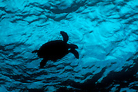 Silhouette of a Hawksbill Turtle (Eretmochelys imbricata) swimming near the bright blue surface of tropical waters, Fish Head, Ari Atoll, Maldives.