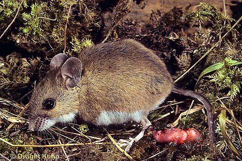 MU27-244a  Deer Mouse - just giving birth to young -  Peromyscus maniculatus