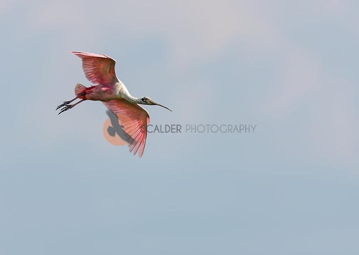 Roseate Spoonbill in flight, descending against soft blue sky