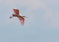 Roseate Spoonbill in flight, descending against soft blue sky