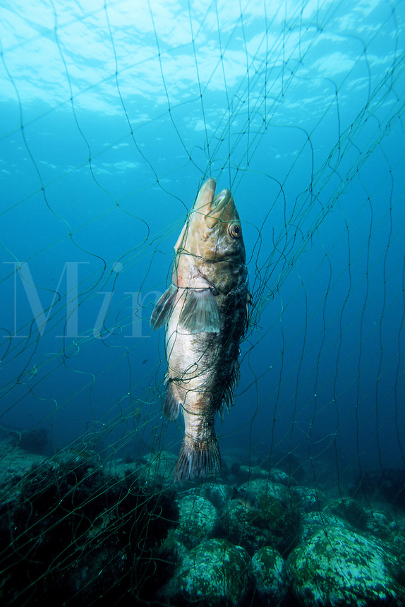 Even though gill nets have been banned along inshore waters, illegal gill nets still catch kelp forest animals needlessly, Mexico