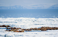 walrus, Odobenus rosmarus, on the pack ice of the Bering sea in Alaska, view from above animals, aeriel images, Arctic