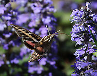 White-lined sphinx moth nectoring