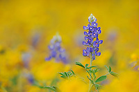 Texas Bluebonnet (Lupinus texensis), blossom in wildflower field, Fennessey Ranch, Refugio, Coastal Bend,Texas Coast, USA