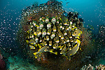 Schooling yellow-ribboned sweetlips (Plectorhinchus polytaenia) surrounded by glassy sweepers.