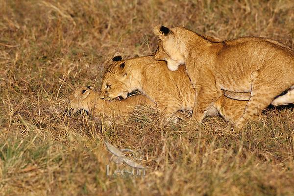 African Lion cubs (Panthera leo) playing.  Kenya