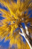 Yellow autumn leaves, Birch tree, boreal forest, Fairbanks, Alaska