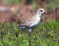 American golden-plover in early April.