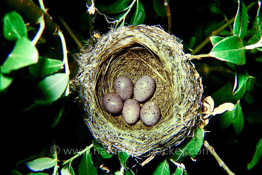Gelbspötter, Nest, Gelege, Ei, Eier, Gelb-Spötter, Spötter, Hippolais icterina, Icterine Warbler, nest, egg, eggs, L'Hypolaïs ictérine
