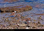 Ruddy Turnstones in Breeding Plumage, Ballona Creek, Southern California