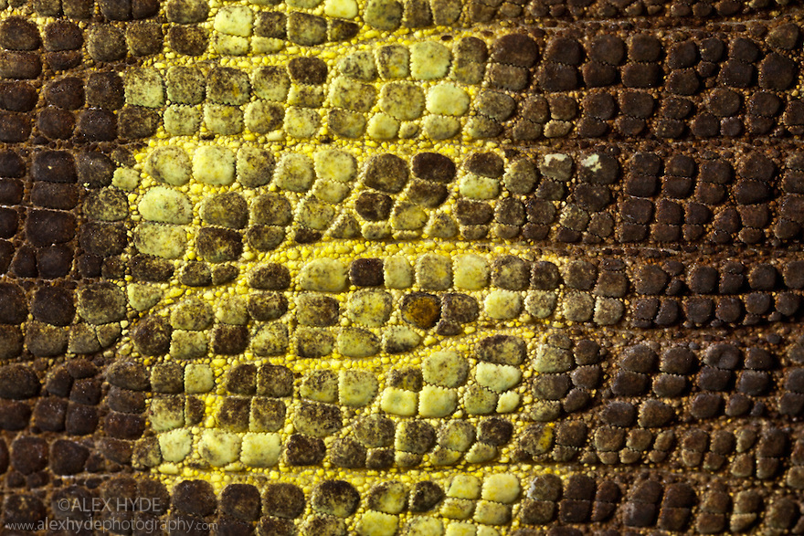Parson's Chameleon {Calumma Parsonii}close-up of skin. Madagascar.