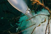 bigfin reef squid, Sepioteuthis lessoniana, Izu Peninsula, Shizuoka, Japan, Pacific Ocean