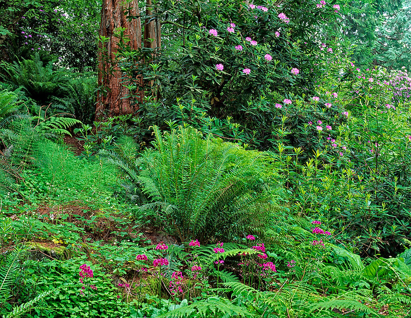 Ferns, primroses and rhododendrons in Washington Park Arboretum, Seattle, Washington