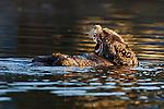 Sea Otter (Enhydra lutris) female yawning, Elkhorn Slough, Monterey Bay, California