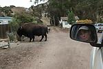 Santa Catalina Island Fox (Urocyon littoralis catalinae) biologist, Julie King, watching introduced American Bison (Bison bison) bull, Santa Catalina Island, Channel Islands, California