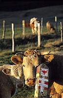 Europe/France/Auvergne/63/Puy-de-Dôme/Parc Régional des Volcans/Les Monts du Cezallier: Vache en paturage